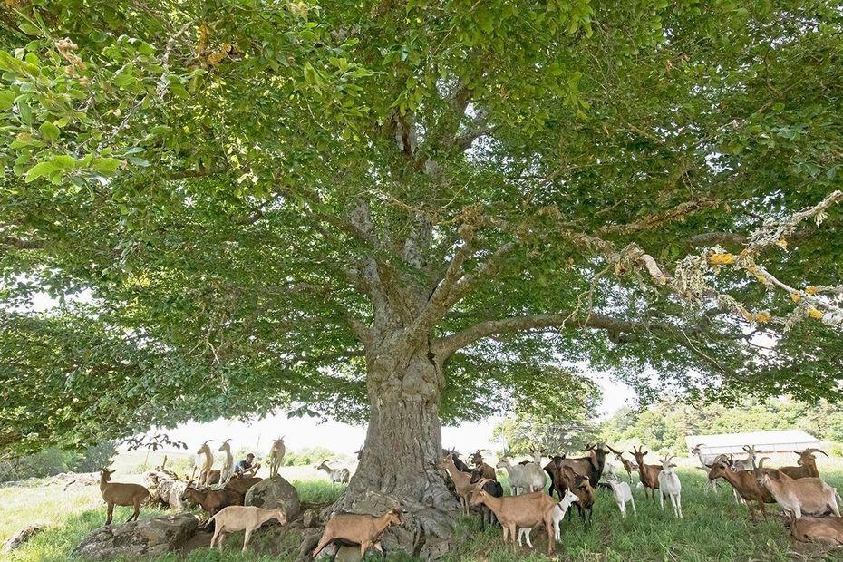 L'arbre du Deime, Cantal